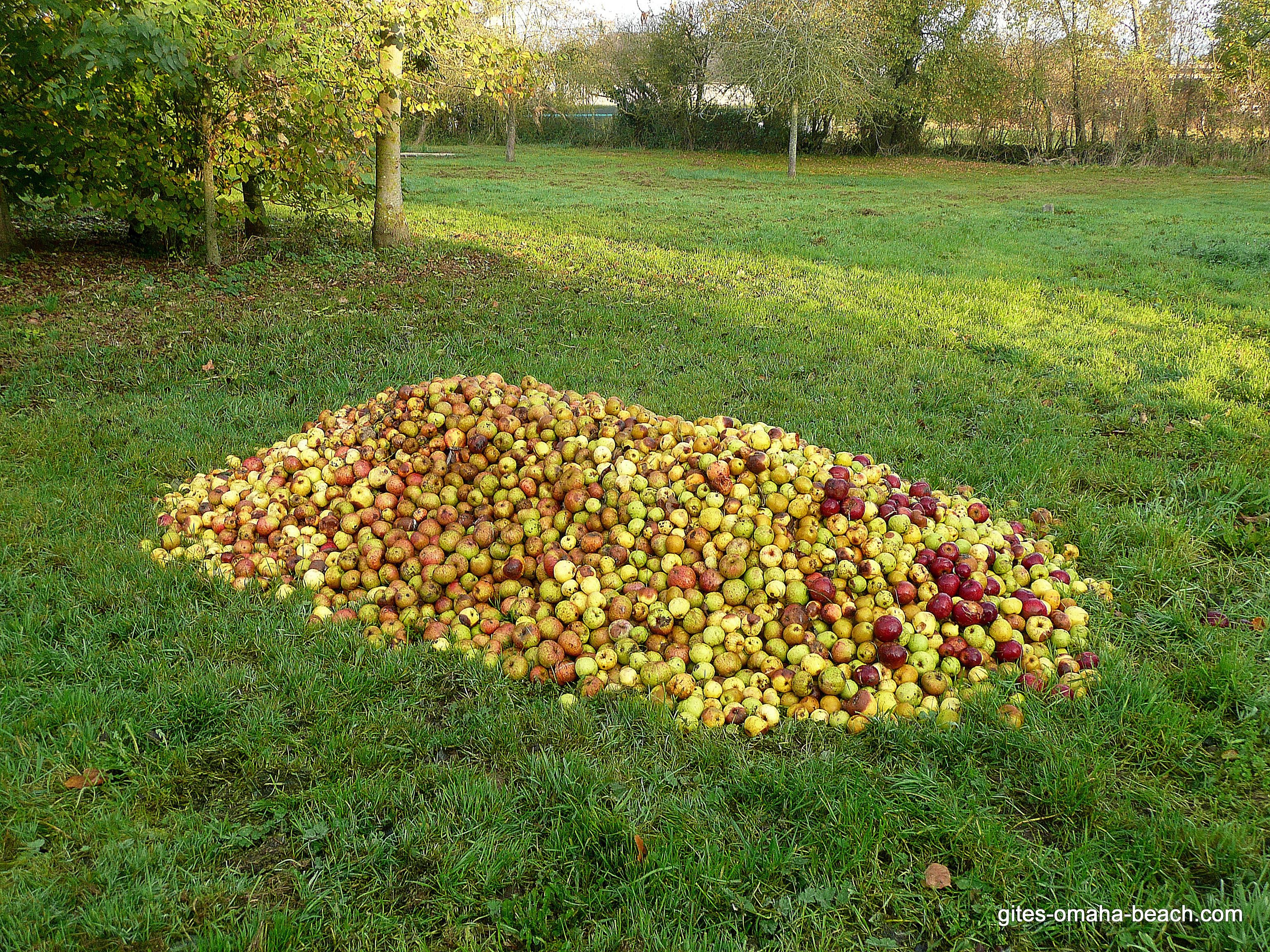 Les pommes attendent d'être transformées