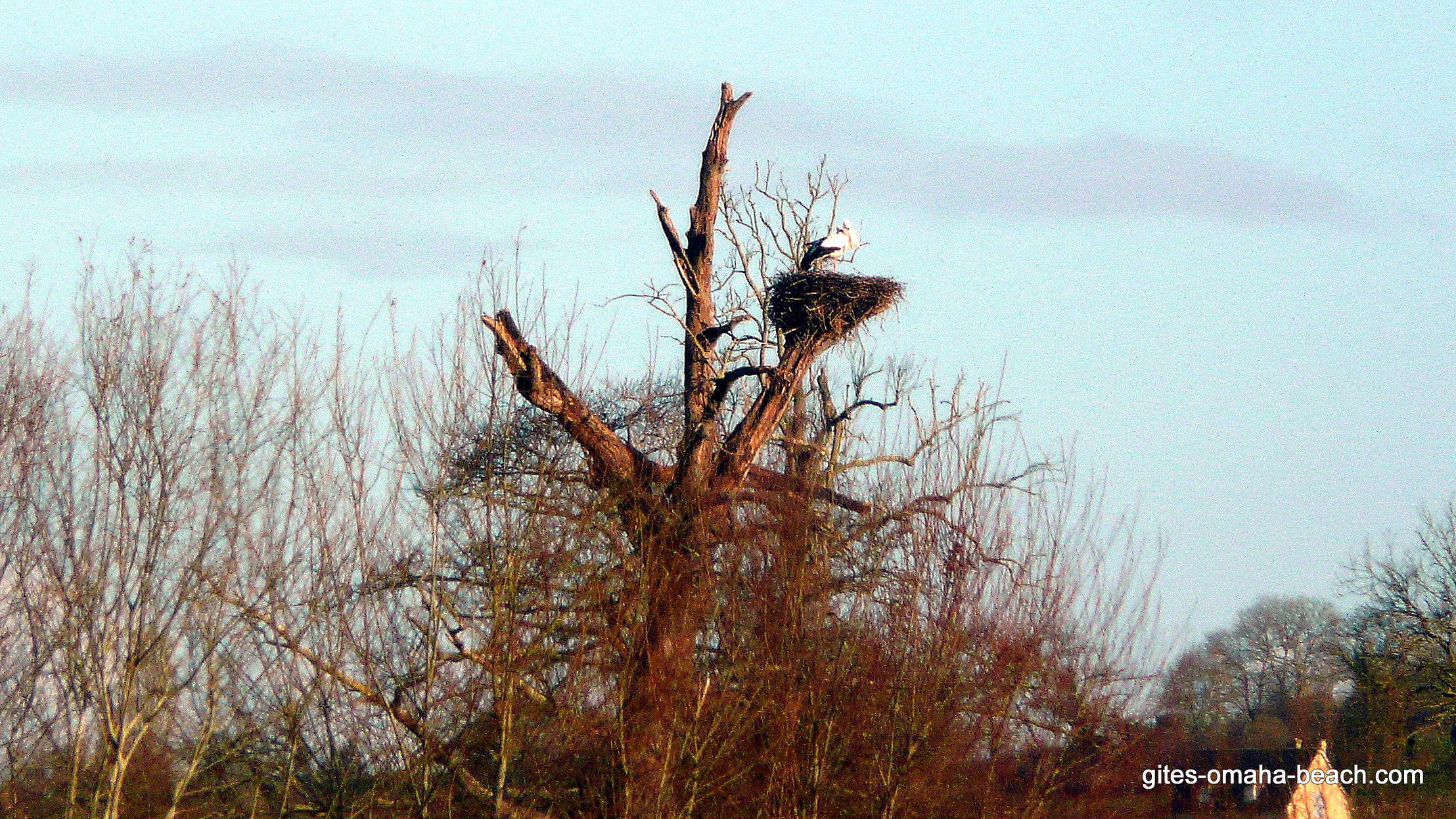 Les cigognes nichent dans le marais