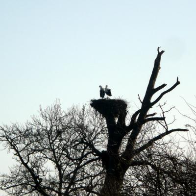 Couple de cigognes dans le marais
