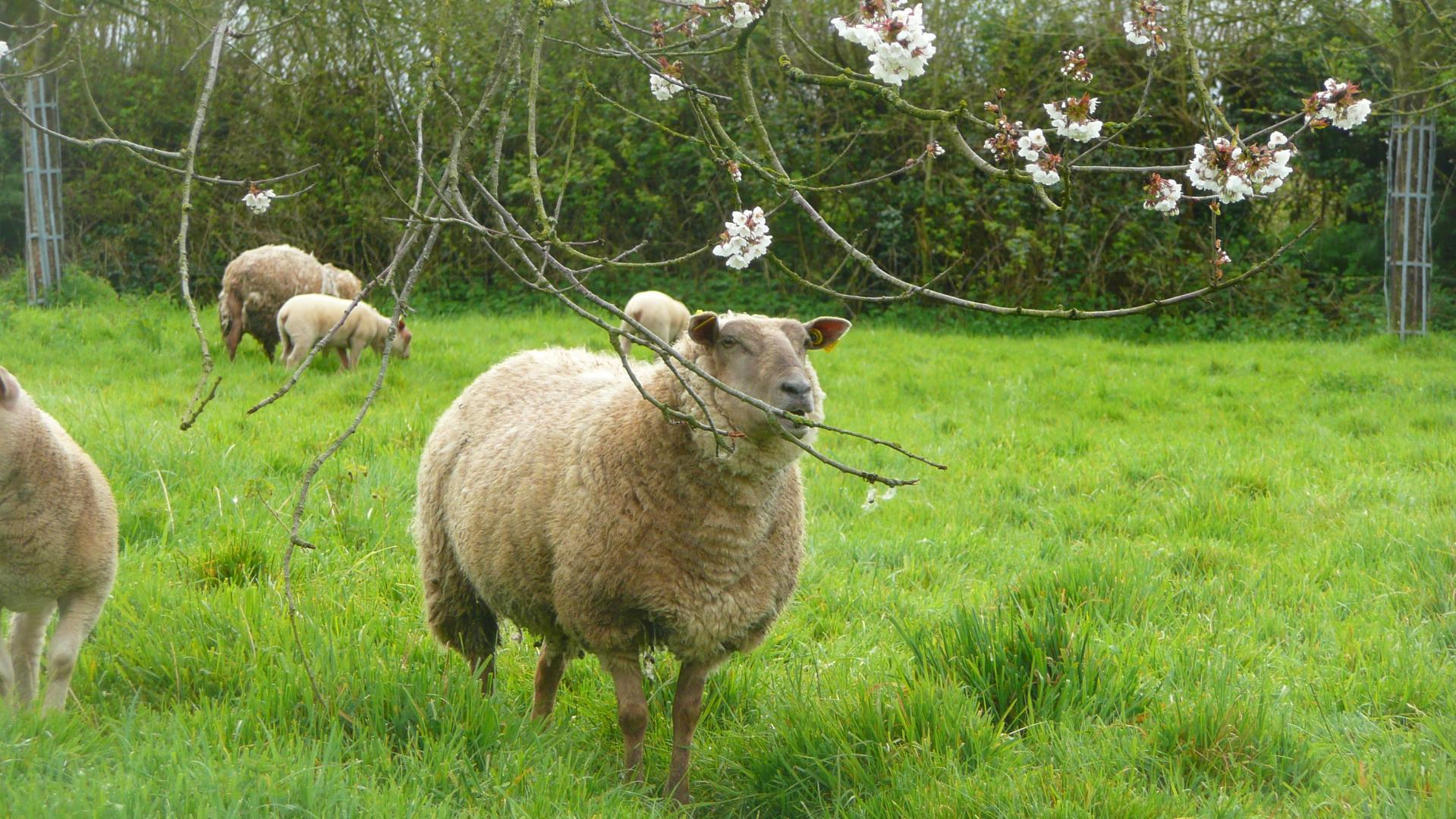 Les moutons paissent dans le verger